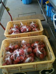 蔵元駄文-トマト